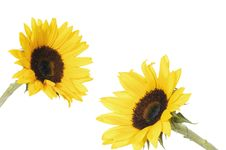 Free Sunflowers Royalty Free Stock Photos - 8303558