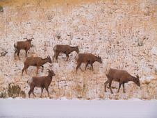 Free Wild Goats Stock Photo - 8303670