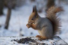 Free Squirrel Stock Images - 8303764