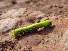 Free Green Caterpillar Royalty Free Stock Images - 8304289
