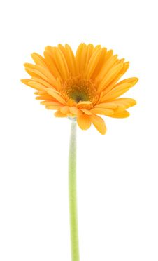 Free Yellow Gerbera Royalty Free Stock Photography - 8304567