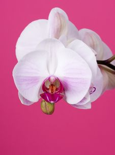 Free Orchid On Pink Stock Images - 8304954