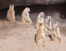 Free Meerkat Royalty Free Stock Photos - 8305548