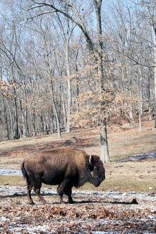 Free Buffalo Royalty Free Stock Photography - 8305787