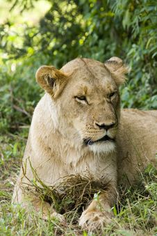 Free Female Lioness Royalty Free Stock Images - 8305949