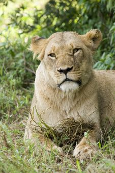 Free Female Lioness Stock Photo - 8305950