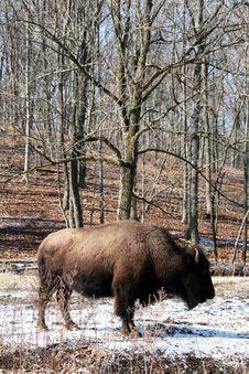 Free Buffalo Stock Image - 8305961