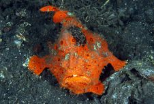 Painted Frogfish Royalty Free Stock Image
