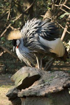 Free Crowned Crane - Balearica Regulorum Stock Photos - 8306133