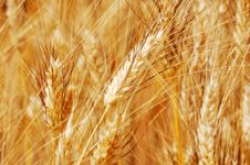 Free Golden Wheat Closeup Royalty Free Stock Photography - 8307137