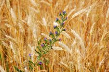 Free Wheat And Wildflowers Stock Image - 8307351