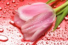 Free Pink Tulip Royalty Free Stock Image - 8307416