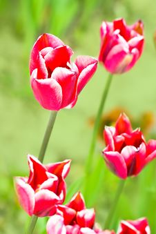 Free Close-up Of Pink Tulip Royalty Free Stock Photos - 8307968