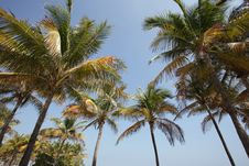 Free Palm Trees On Blue Sky Royalty Free Stock Image - 8307996