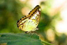 Free Yellow Butterfly Royalty Free Stock Image - 8308496