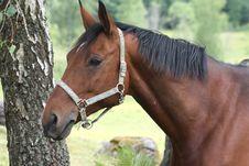 Free Horse Royalty Free Stock Photos - 8309158