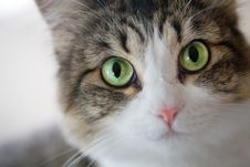 Free Cute Soft Cat With Piercing Green Eyes Royalty Free Stock Image - 8309396