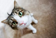 Free Cute Soft Cat With Piercing Green Eyes Stock Image - 8309621