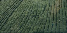 Free Aerial View Of Workers In Tea Plantation Royalty Free Stock Photography - 83008787