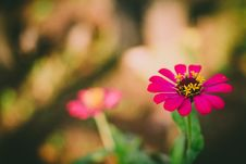 Free Selective Focus Photography Of Pink Petaled Flower During Daytime Royalty Free Stock Image - 83008996