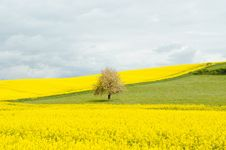 Free Canola Flowers In Field Royalty Free Stock Photography - 83009087