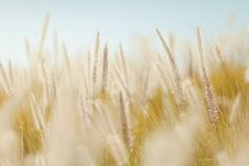 Free Golden Grasses In Field Royalty Free Stock Images - 83009209