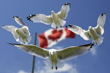 Free 4 Birds Flying In Mid Air With Flag Of Canada Behind During Daytime Royalty Free Stock Image - 83009686
