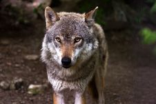 Free Wolf Portrait Stock Images - 83009754