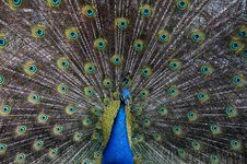 Free Peacock Plumage Royalty Free Stock Image - 83009776