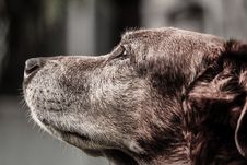 Free Brown Dog Royalty Free Stock Photography - 83009777