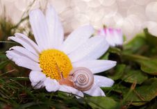 Free Small Snail On Daisy Flower Stock Photography - 83009872