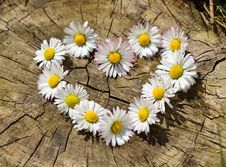 Free Daisy Flowers Love Heart Royalty Free Stock Photography - 83009987