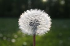 Free White Dandelion Flower In Close Up Photograph Royalty Free Stock Photography - 83010027