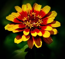 Free Zinnia Flower Stock Images - 83010134