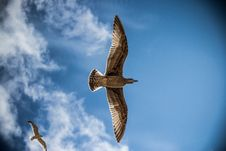 Free Seagulls In Sky Stock Photos - 83010173