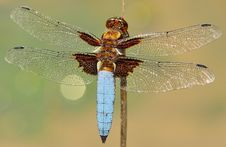 Free White And Brown Dragonfly On Stick Stock Images - 83010354