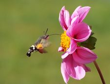 Free Moth Hovering By A Pink Zinnia Royalty Free Stock Photos - 83010488