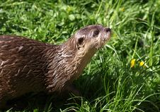 Free Otter On Grass Stock Image - 83010561