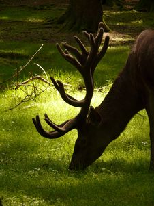 Free Deer Eating Grass During Daytime Royalty Free Stock Photos - 83010598