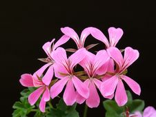 Free Pink Geranium Flower Stock Photos - 83010953