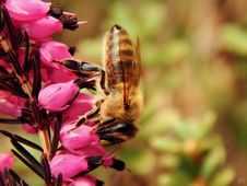 Free Close Up Photo Of Honeybess Perching On Pink Flower Buds Stock Photography - 83011052