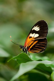 Free Orange White And Black Butterfly On Green Leaf Stock Image - 83011061