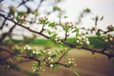 Free Apple Tree Flowers Royalty Free Stock Images - 83011149
