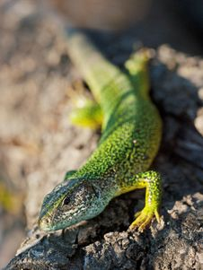 Free Green Speckled Lizard On Grey Rock Stock Images - 83011464