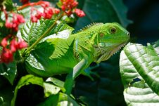 Free Green Reptile On Red And Green Leaves Stock Photography - 83011482