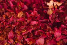 Free Red Leaf Plant Stock Photos - 83011533