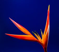 Free Close-Up Photo Of Orange Flower Stock Photo - 83012080