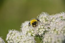 Free Bumble Bee On White Flowers Royalty Free Stock Image - 83012286