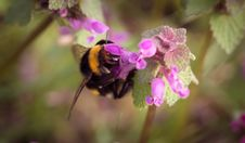 Free Bumble Bee On Pink Floower Stock Photo - 83012300