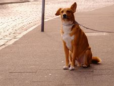 Free Orange And White Short Coat Dog Sitting Royalty Free Stock Image - 83012536